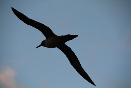 Sooty-Albatross-Blog-1