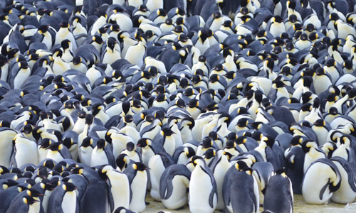 Penguin_Huddle